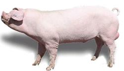 Основні породи свиней